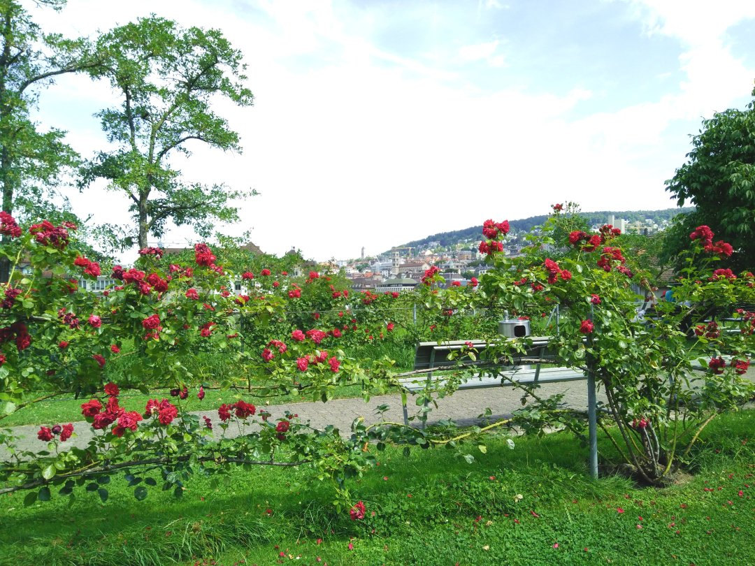 zurich-roses